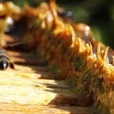Πρόπολη μελισσών το φυσικό αντιβιοτικό